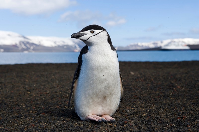 https%3A%2F%2Fcommons.m.wikimedia.org%2Fwiki%2FFile%3AChinstrap_penguin_on_deception_island_%2839985995%29.jpg