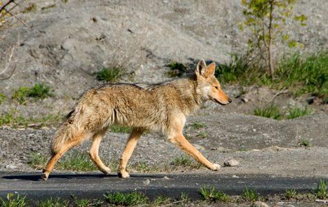 Coyotes in Fullerton