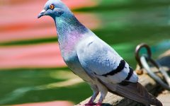 Pigeons Are Cool, You're Just Mean