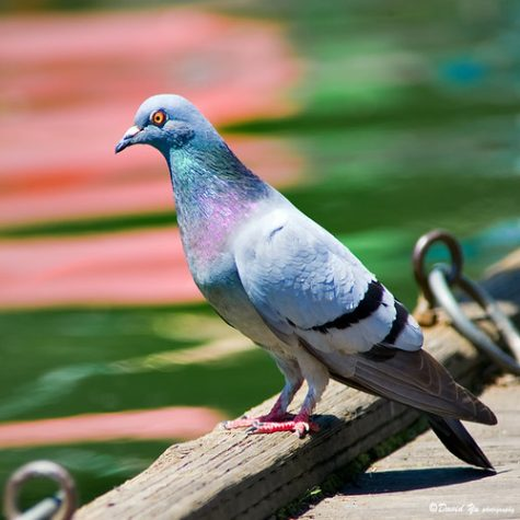 Pigeons Are Cool, You