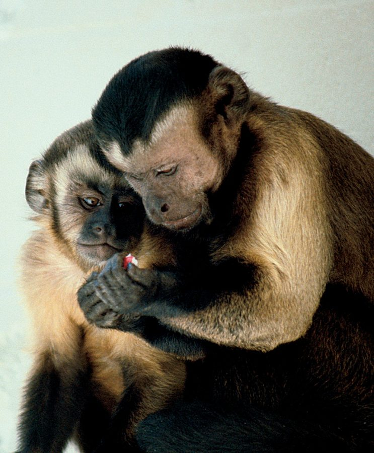 Capuchin Monkeys Credit: Wikipedia Commons